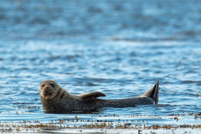 Isola di Capraia, avvistata una foca monaca: un tratto di mare interdetto