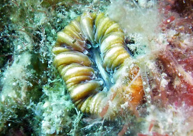 Idrocarburi dannosi nel corallo mediterraneoBalanophyllia europaea