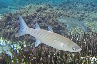 cefalo pesce