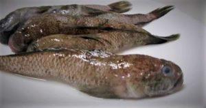 mazzone pesce