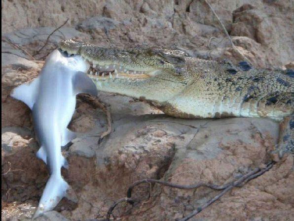 coccodrillo squali