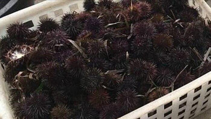 ricci di mare taranto