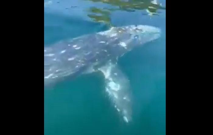 la balena grigia in viaggia nel tirreno che si fa accarezzare