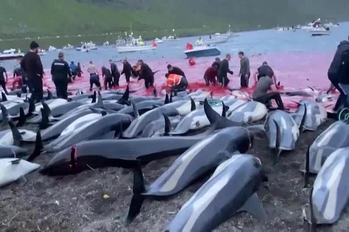 faroe delfini
